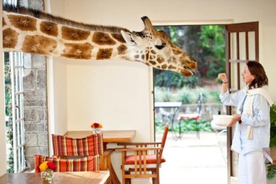 Café da Manhã com girafas no Giraffe Manor Hotel - Laguna