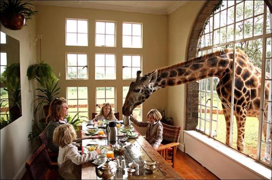 Girafa na janela Giraffe Manor Hotel - Laguna