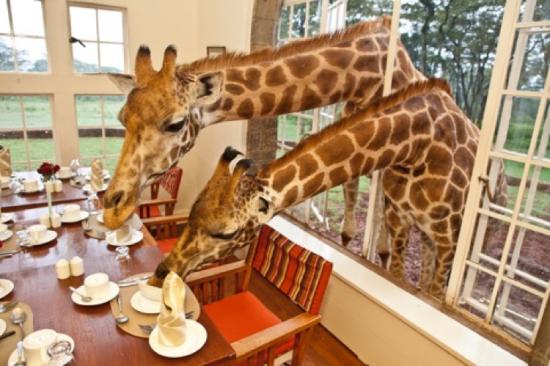 Girafas tomando café da manhã - Laguna