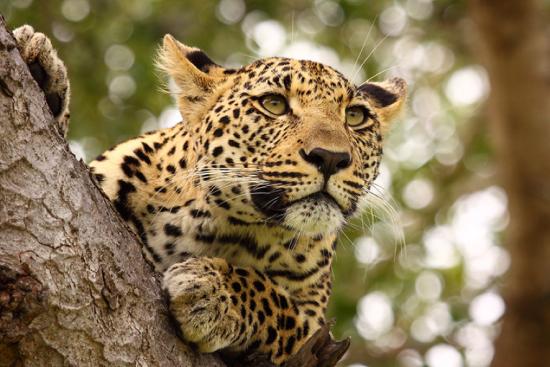 Safari privado onça Four Seasons Safari Lodge Serengeti - Laguna