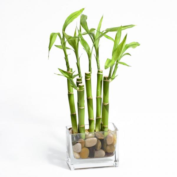 Bambu - Laguna
