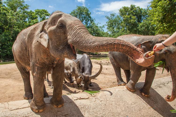 Onde visitar elefantes de forma ética na Tailândia - Construtora Laguna