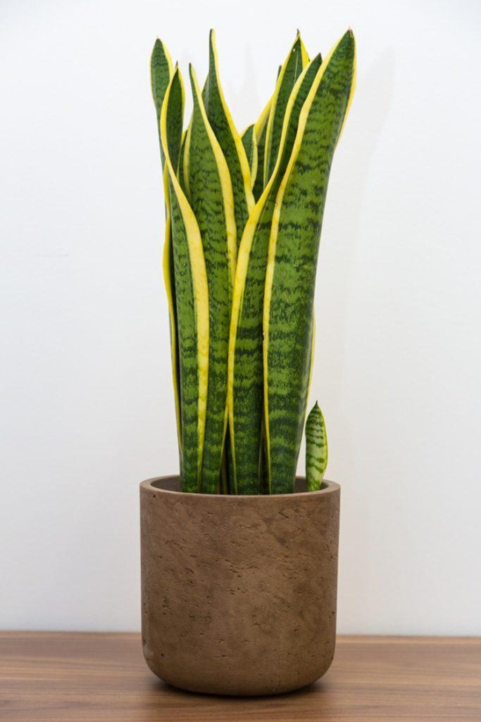 Conheça as plantas que são tóxicas para seu pet - Espada-de-são-jorge - Construtora Laguna