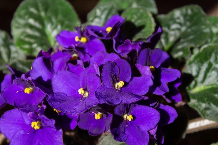 Conheça as plantas que são tóxicas para seu pet - Violeta - Construtora Laguna